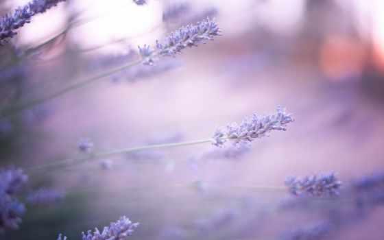 lavender, цветы, сиреневые, размытость,
