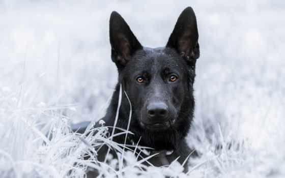овчарка, немецкая, собака, взгляд, морда, zhivotnye,