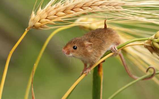 baby, mouse, макро, грызунов, зооклубе, length,