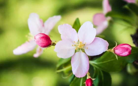 макро, oboi, colibri, страница, цветение, цветы, эксклюзивные,