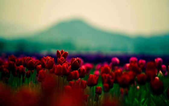 cvety, красивые, широкоформатные, тюльпаны, trick, цветки, красные, широкоэкранные, лепестки, картинка, красавица,