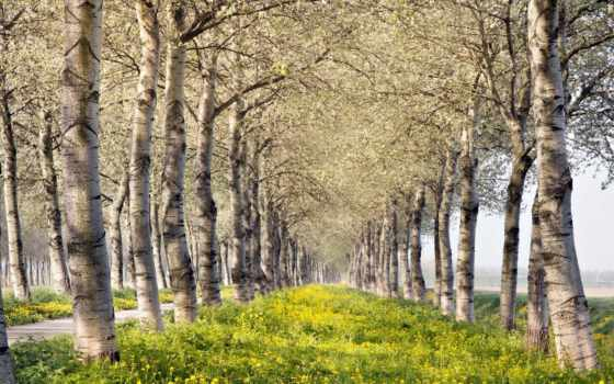 trees, береза, яndex, летом, природы, коллекцию, посмотрите, коллекциях, весна,
