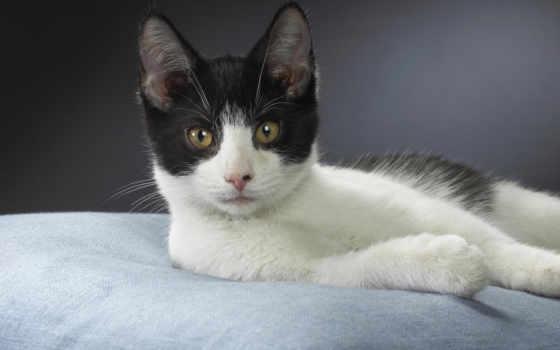 кот, бразильская, короткошёрстная, порода, кошек, кошки,