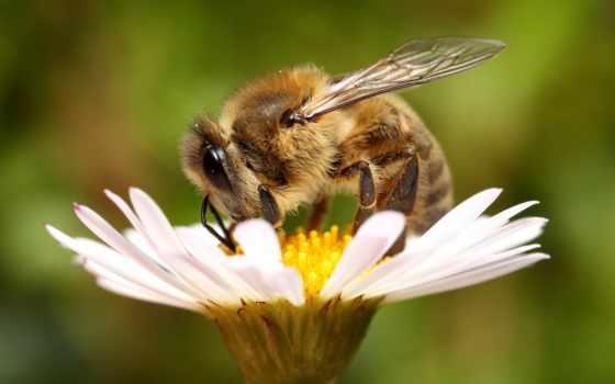 цветок, пчела