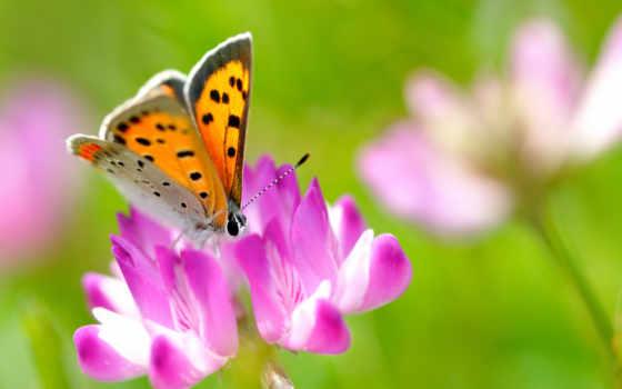 бабочка, насекомое, цветок, priroda, клевер, leto,