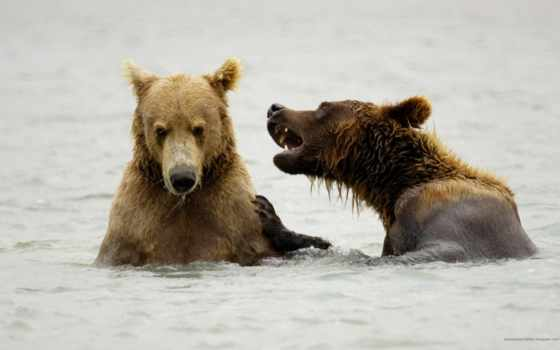 bears, медведь, браун, playing, polar, pinterest, река, more, search,
