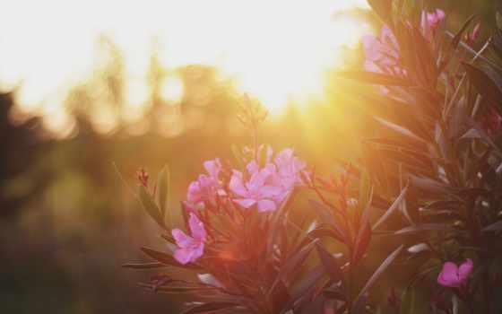 nerium, oleander, flowers, flora, plants, цветы,