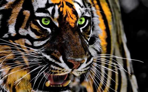 , тигр, живая природа, позвоночное животное, бенгальский тигр, усы, млекопитающее, terrestrial animal, felidae, Амурский тигр, морда