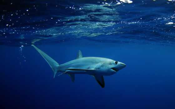 акула, thresher, drawing, паула, underwater, линолеум, bigeye, ночь, effect, fast