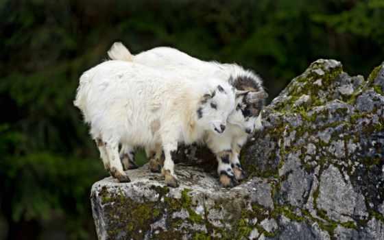 goat, rocks, image