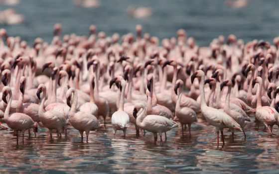 фламинго, птицы, birds