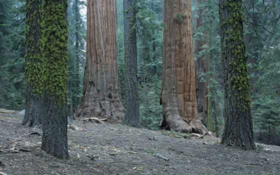 секвойя, national, лес, park, гигант, california, usa,