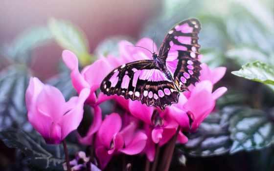 rosa, gratis, pixabay, schmetterling, картины, bilder, mariposa, borboleta, imágenes, fotos,