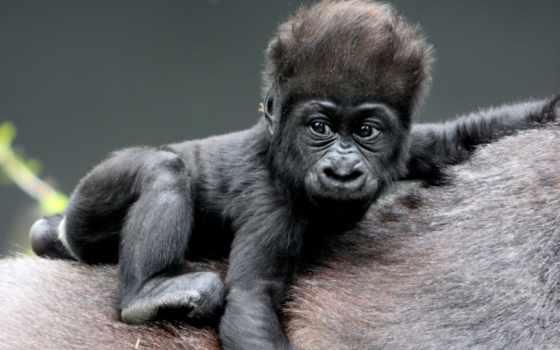 обезьяны, zhivotnye, прикольные, приколы, поздравления, обезьян, год, нояб, стих, малыш, our,