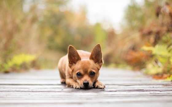 zhivotnye, лежит, собаки, широкоформатные, чихуахуа, собачки, собака, кот, ручные,
