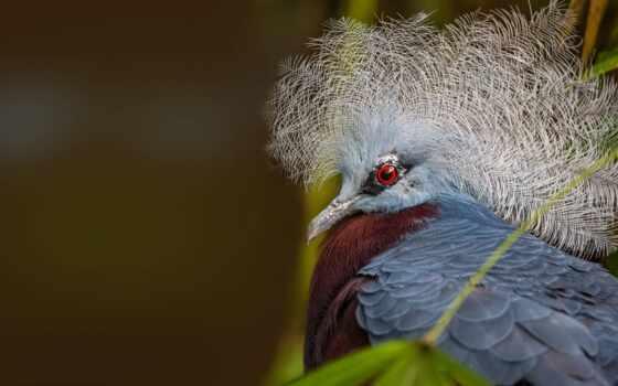 голубь, crown, животное, priroda, птица, animal, victoria, птица