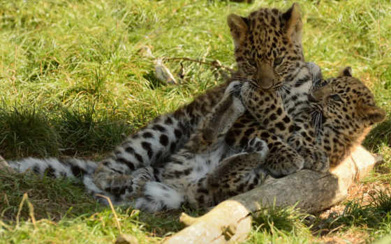 леопарды, фото, обои, красивые, хищные, котята, об