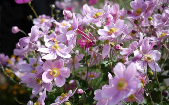 цветы, anemone