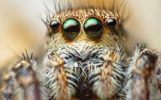 макро, паук, глаза