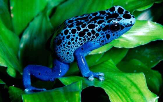 лягушка, синяя, лист