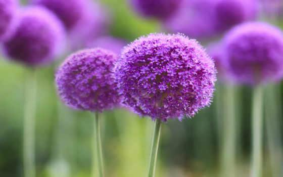 цветы, purple, розовые
