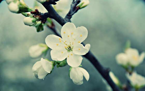 макро, весна, цветы, cherry, branch, лепестки, white, цветение,