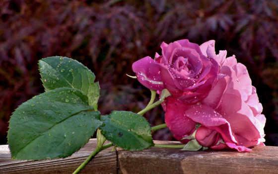 rosas, color, roses, fotos, colores, para, flores, compartir, colorful, violeta,
