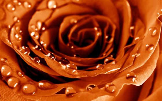 капли, роза, роса, макро, лепестки, цветы, росы, вышивки,