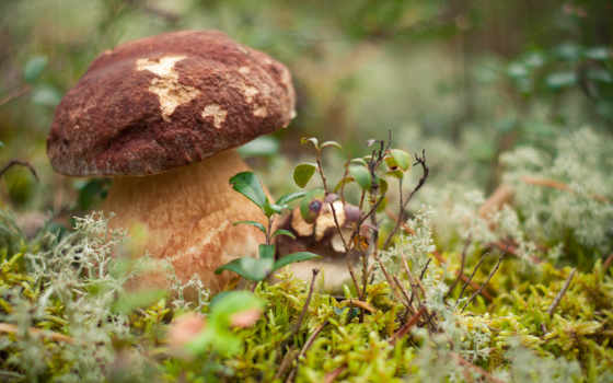 white, лес, лесу, крупным, планом, mushroom, грибы, getbg, боровика,