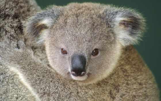 коала, desktop, eyes