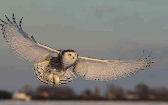 сова, крыло, hawk, полет, dynasty, dimension