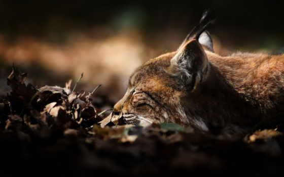 lynx, животные, хищник, gb, выпуски, похожие, лежит, betznaturfoto, листья, eingeschlafen,