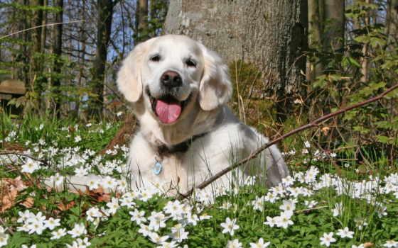 собака, картинка, flowers