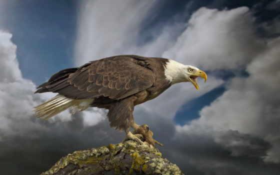 белоголовый, орлан, птицы, птица, hawk, сша, zhivotnye,