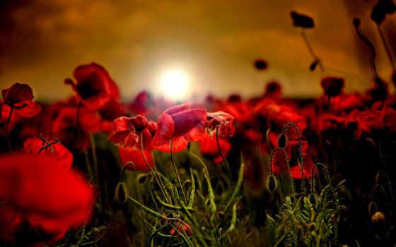 маки, поле, рассвет, красные, закат, cvety, природа, red,