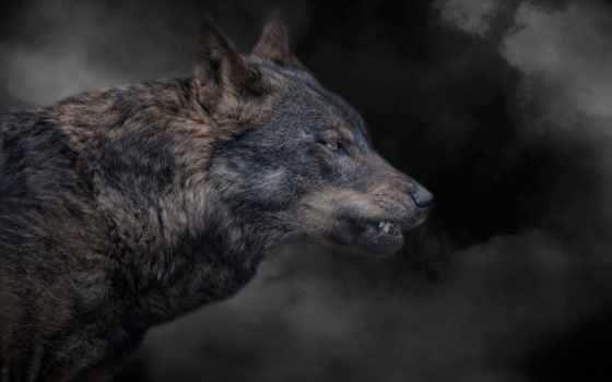 волк, клыки, охота