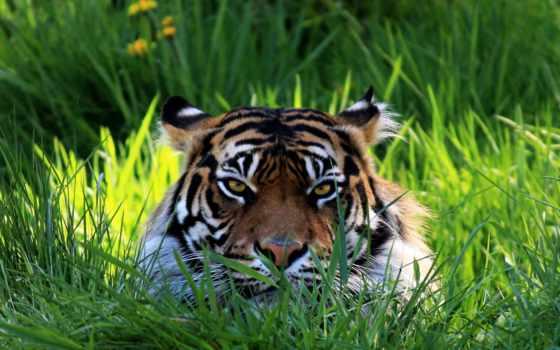 tiger, grass