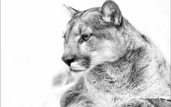 lion, чёрно, white