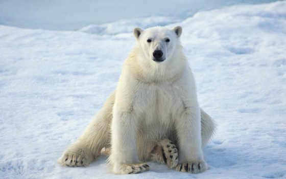 медведь, белый,