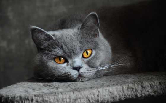 котята, кот, заставки, свет, британская, кошки, взгляд, широкоформатные,