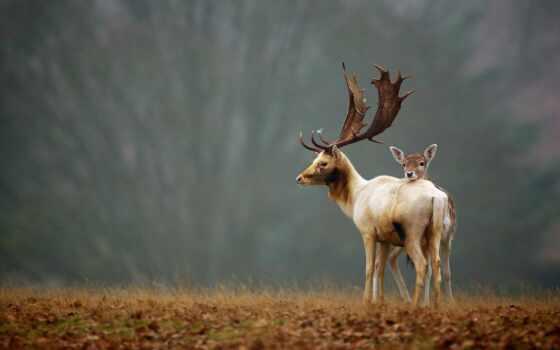 лань, природа, осень, animal