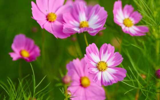 цветы, космеи, создать, космос, красивый, plan, большой, розовый, free, пион