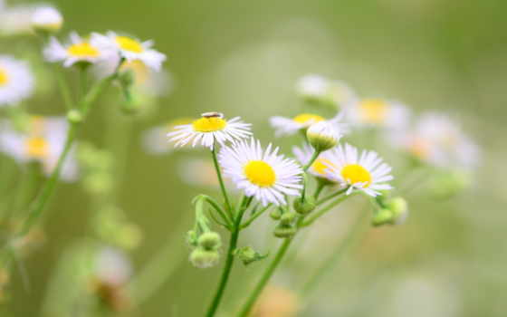 экстракт, цветочки, cvety