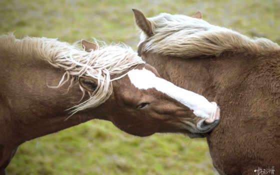 лошадь, zhivotnye, лошади, horses, animal, pair, кони, cavalos, lion,