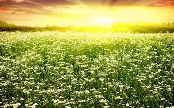ромашка, поле, природа