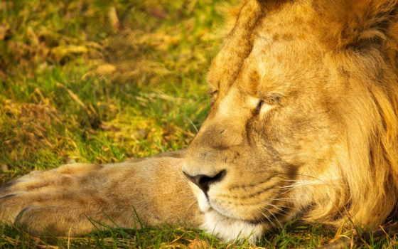 lion, спать, king