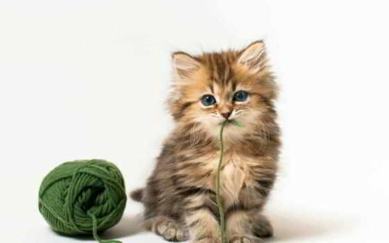 котенок, пушистый, кот