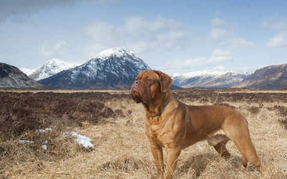 mastiff, бордоский, собак
