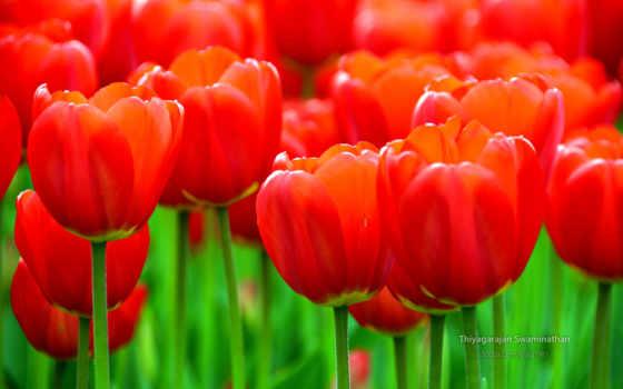 тюльпан, red, flowers