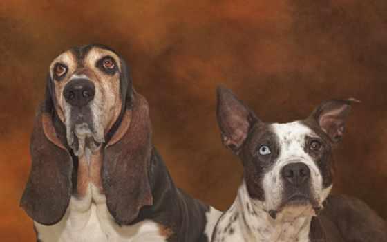 пит, imagini, desktop, bull, dogs, pitbull, собаки, pentru, line,